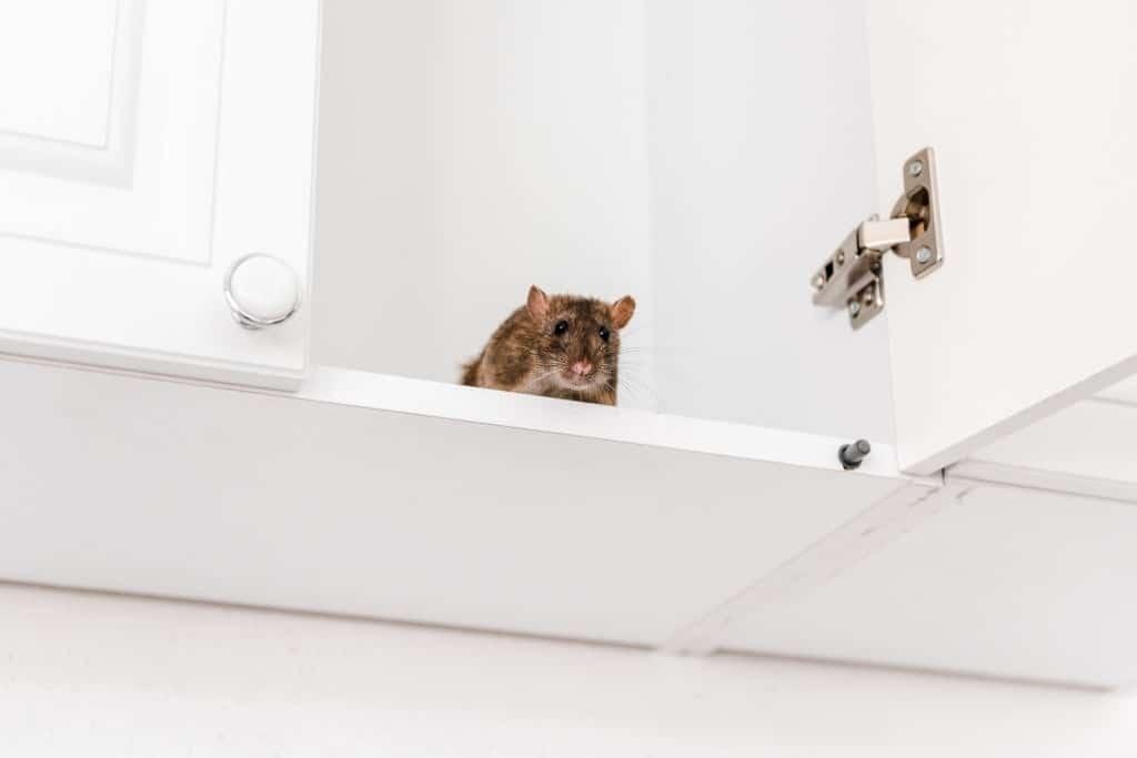 Rat pest control Sydney